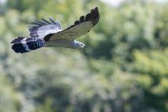 Piękny gymnogene ptak zdobycza latanie Afrykański jastrząb fl obrazy royalty free