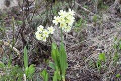 Piękny halny pierwiosnek kwitnie w kwiacie zdjęcie stock