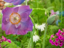 Piękny Himalajski Błękitnego maczka Meconopsis kwiat i pączek w ogródzie przeciw skupiającemu się różnobarwnemu tłu zdjęcia royalty free