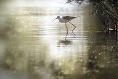 Piękny himantopus przy zmierzchem w lagunach zdjęcie stock