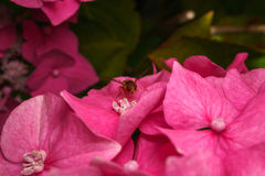 Piękny Hoverfly karmienie na Różowym kwiacie Obraz Stock