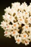 Piękny Hoya parasitica Roxb wallah Ex Wight z nektarem Odizolowywa Białego kwiatu na czarnym tle Fantastyczna tekstura jaskrawy obrazy stock