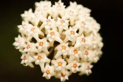 Piękny Hoya parasitica Roxb wallah Ex Wight z nektarem Odizolowywa Białego kwiatu na czarnym tle Fantastyczna tekstura jaskrawy fotografia stock