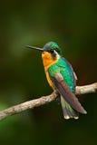 piękny hummingbird Pomarańcze i zieleń mały ptak od góry chmurniejemy las w Costa Rica Throated klejnot, Lamporn Obrazy Stock
