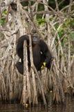 Piękny i ładny szympans w natury siedlisku Obrazy Stock