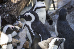 Piękny i śmieszny pingwinu słońce w rówieśnik grupie Zdjęcie Royalty Free