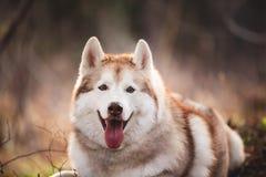 Piękny i bezpłatny Syberyjskiego husky psa lying on the beach w lesie przy zmierzchem w wiośnie fotografia royalty free