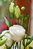 Piękny i delikatny kwiat nazwany Eustoma obrazy stock