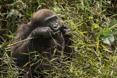 Piękny i dziki niżowy goryl w natury siedlisku Obraz Stock