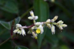 Piękny i ekstrawagancki mikro żółty kwiat Obraz Royalty Free