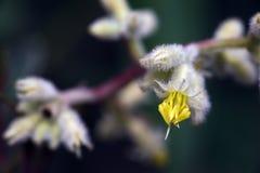 Piękny i ekstrawagancki mikro żółty kwiat Zdjęcia Stock