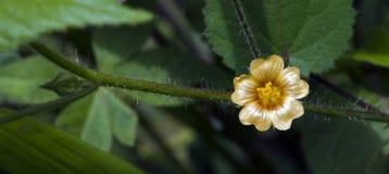 Piękny i ekstrawagancki mikro żółty kwiat Zdjęcie Royalty Free