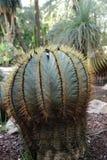 Piękny i Kolosalny kaktus w ogródzie zdjęcie stock