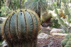Piękny i Kolosalny kaktus w ogródzie obrazy royalty free