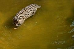 Piękny i nieuchwytny połowu kot w natury siedlisku blisko nawadnia Fotografia Royalty Free