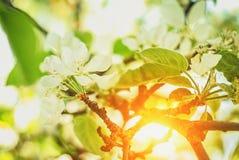 Piękny i pokojowy jaskrawy zakończenie w górę fotografii jabłoń kwitnie z słońcem Obraz Stock