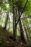 Pi?kny i straszny dziki las zdjęcie royalty free