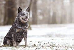 Piękny i zabawa australijski bydło jest prześladowanym szczeniaka pasterskiego czekanie ja Zdjęcie Stock