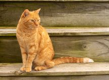 Piękny imbirowy tabby kota obsiadanie na nieociosanych drewnianych krokach obraz stock