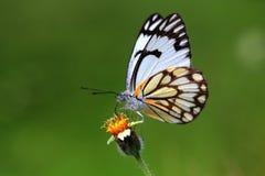 Piękny indyjski kapuścianego bielu motyl Fotografia Royalty Free
