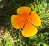 Piękny intensywny żółty kwiat zdjęcie royalty free