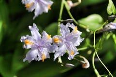 Piękny Irysowy japonica w ogródzie fotografia royalty free