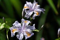 Piękny Irysowy japonica w ogródzie obraz stock