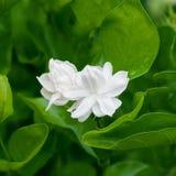 Piękny Jaśminowy kwiat z liśćmi Obraz Stock