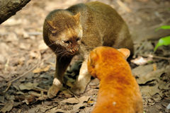 Piękny jaguarundi zdjęcie royalty free