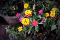 Piękny japończyk Wzrastał Przy Mój Małym ogródem obraz royalty free