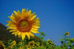 Piękny jaskrawy żółty świeży słonecznik pokazuje pollen deseniowego i miękkiego płatek z zamazanym pola, góry i niebieskiego nieb Zdjęcia Royalty Free