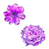 Piękny jaskrawy menchii róży kwiat odosobniony Zdjęcia Royalty Free