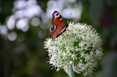 Piękny jaskrawy motyli obsiadanie na białym kwiacie, zielony tło obrazy stock