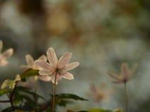 Piękny jasnoróżowy kwiatów blaknąć Fotografia Stock
