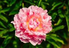 Piękny jasnoróżowy peonia kwiat zamknięty w górę dorośnięcia w ogródzie fotografia royalty free