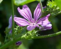 Piękny jasny ostry purpurowy pospolitego ślazu kwiatu Malva sylvestr fotografia stock