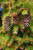 Piękny jedlinowy drzewo żyje w lesie obrazy royalty free