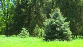Piękny jedlinowy drzewo na krawędzi lasu blisko zbiory wideo