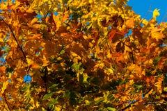 Piękny jesień klon z kolorem żółtym, pomarańcze i zielenią, opuszcza †'szczegółową fotografię drzewo na tle niebieskie niebo zdjęcie royalty free