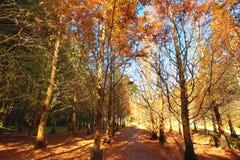 Piękny jesień krajobraz jutrzenkowego redwood drzewa Obraz Royalty Free
