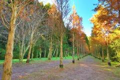 Piękny jesień krajobraz jutrzenkowego redwood drzewa Zdjęcie Royalty Free