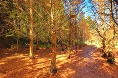 Piękny jesień krajobraz jutrzenkowego redwood drzewa Zdjęcie Stock