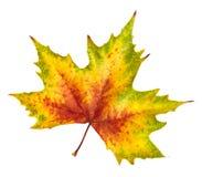 Piękny jesień liść, bogactwo w kolorze i szczegół, Zdjęcie Royalty Free