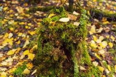 Piękny jesień obrazek z starym człowiekiem i żółtymi liśćmi Zdjęcie Royalty Free