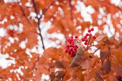 Piękny jesieni tło z gałąź dziki ashberry Inspiracji natura jesie? poj?cia odosobniony biel obraz stock