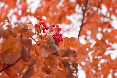 Piękny jesieni tło z gałąź dziki ashberry Inspiracji natura jesie? poj?cia odosobniony biel zdjęcia stock