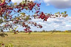 Piękny jesienny krajobraz z czerwonymi jagodami głóg, Havelland, Brandenburg fotografia stock