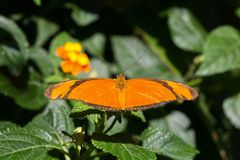 Piękny Julia Heliconian Dryas iulia motyl zdjęcia royalty free
