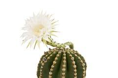 Piękny kaktusowy kwiat odizolowywający Obraz Royalty Free