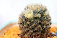 Piękny Kaktusowy kwiat z selekcyjną ostrością Obrazy Stock